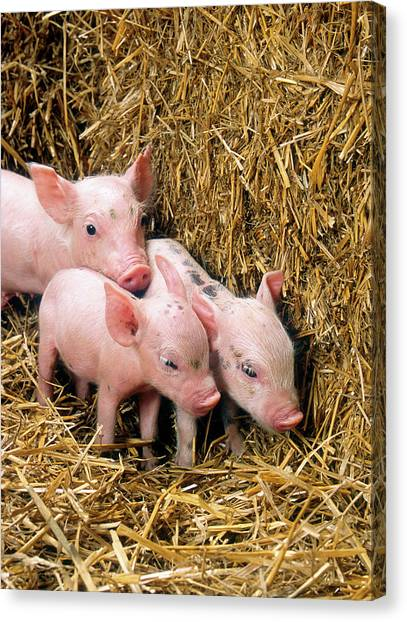Pig Farms Canvas Print - Piglets by Scott Bauer/us Department Of Agriculture/science Photo Library