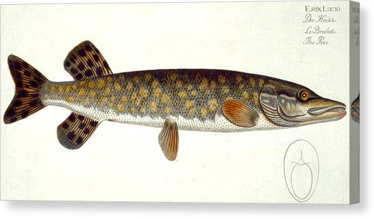 Angling Canvas Print - Pike by Andreas Ludwig Kruger