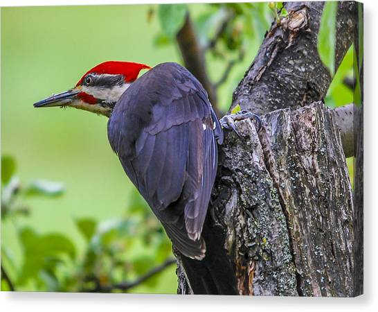 Pileated Stare Canvas Print