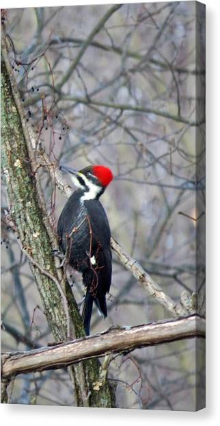 Pileated Woodpecker Canvas Print by Diane Mitchell