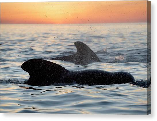 Sunrise Horizon Canvas Print - Pilot Whales At Dawn by Christopher Swann
