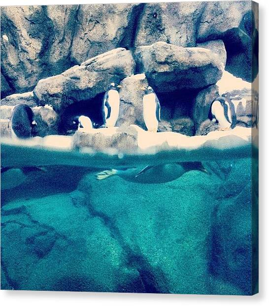 Penguins Canvas Print - Pin-gins!! #penguin #calgary #alberta by Robyn Chell