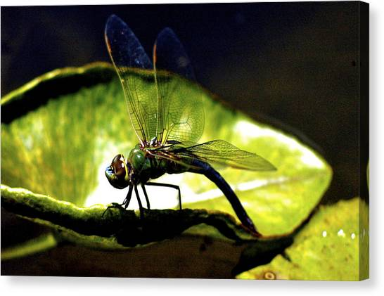 Pinao The Hawaiian Dragonfly Canvas Print