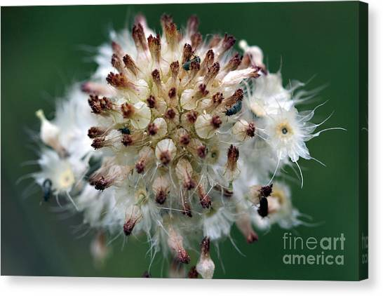 Pincushion Daisy Going To Seed Canvas Print