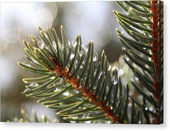 Pine Bough Dewdrops Canvas Print