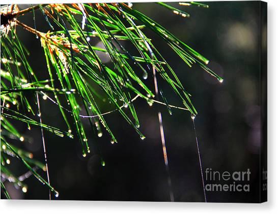 Pine Dew Canvas Print