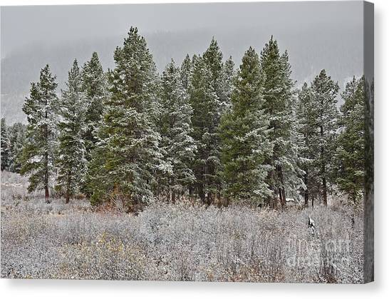 Pine Flurries Canvas Print