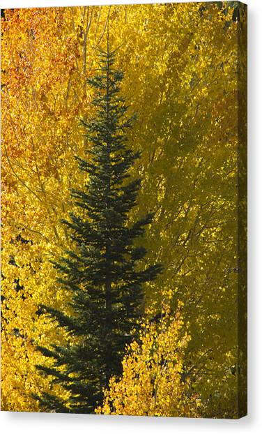 Pine In Aspens Canvas Print