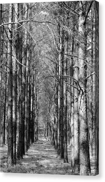 Pine Plantation Canvas Print