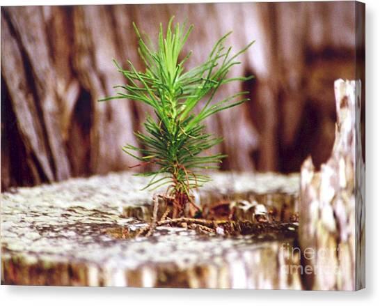 Pine Seedling Canvas Print