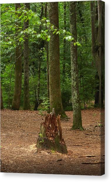 Pine Stump Canvas Print