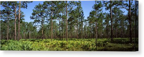 Okefenokee Canvas Print - Pine Trees In A Forest, Suwannee Canal by Panoramic Images