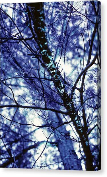Pine Trees Redux In Blue Canvas Print