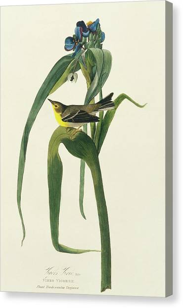 Pine Warbler Canvas Print by Natural History Museum, London/science Photo Library