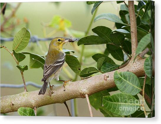 Pine Warbler With Lunch Canvas Print
