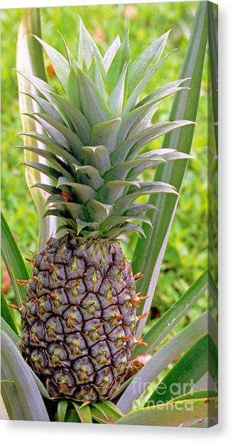 Pineapples Canvas Print - Pineapple Plant by Millard H. Sharp