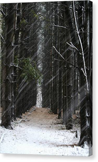 Pines In Snow Canvas Print