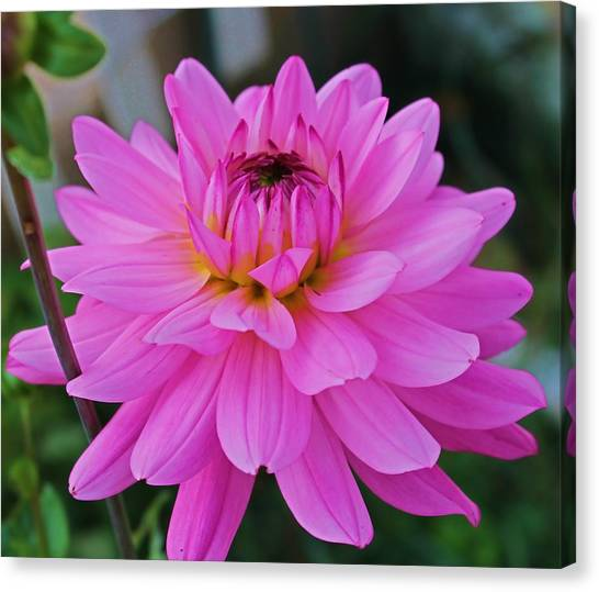 Pink And Beautiful Canvas Print by Victoria Sheldon