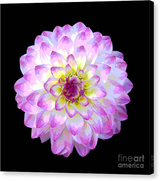 Pink And White Dahlia Posterized On Black Canvas Print by Rosemary Calvert