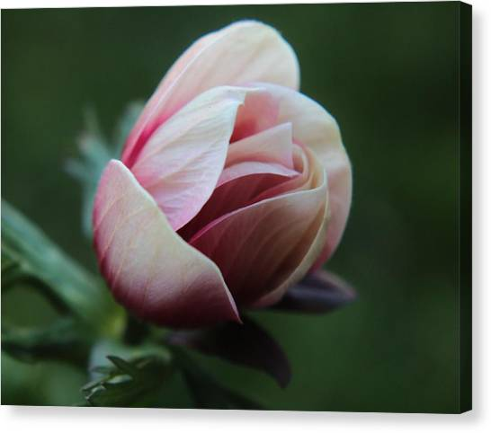 Pink Anemone Flower Bud Canvas Print by Carol Welsh
