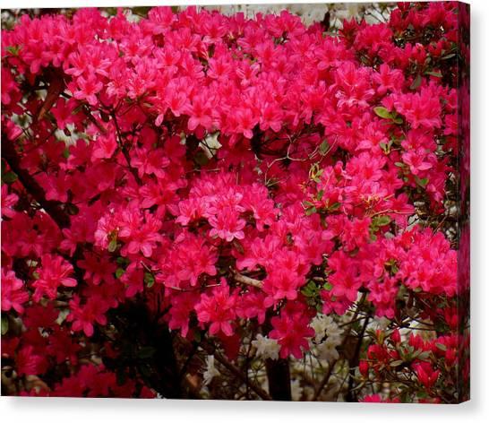 Pink Azaleas Canvas Print by Virginia Forbes