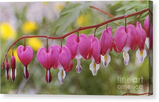 Pink Bleeding Hearts Canvas Print
