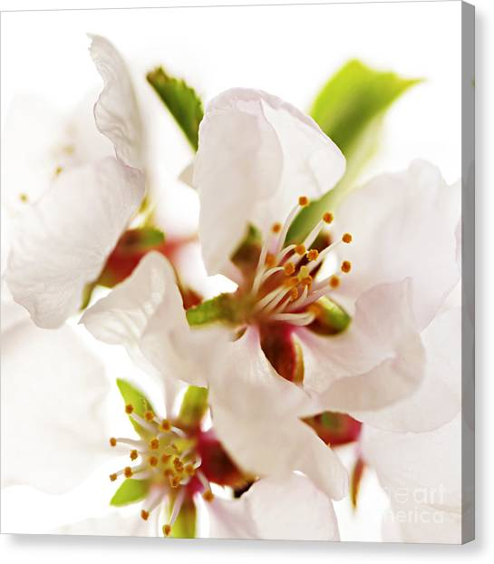 Fruit Trees Canvas Print - Pink Blossom by Elena Elisseeva