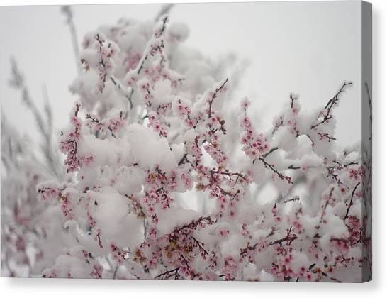 Pink Spring Blossoms In The Snow Canvas Print
