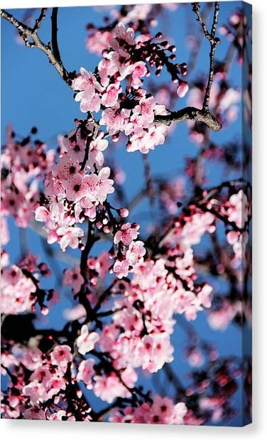 Blooming Tree Canvas Print - Pink Blossoms On The Tree by Irina Sztukowski