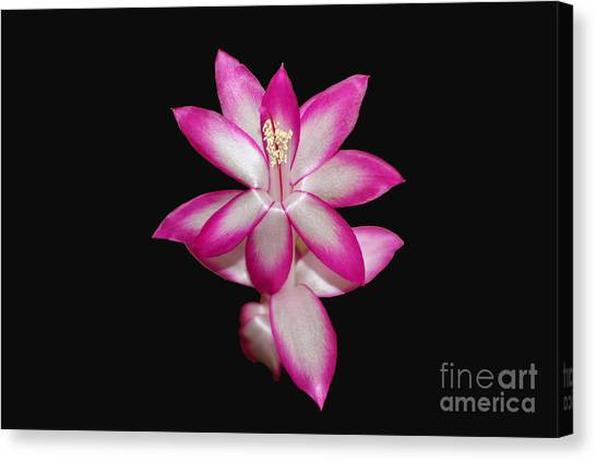 Pink Christmas Cactus On Black Canvas Print