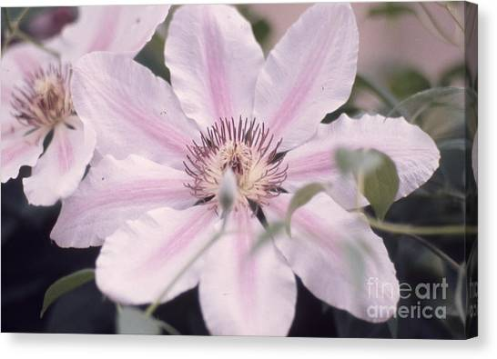 Pink Clematis 131  Canvas Print by Stephen Parker