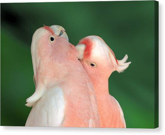 Canvas Print featuring the photograph Pink Cockatoo Couple by David Rich