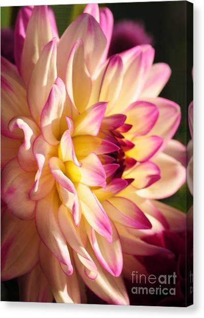 Pink Cream And Yellow Dahlia Canvas Print