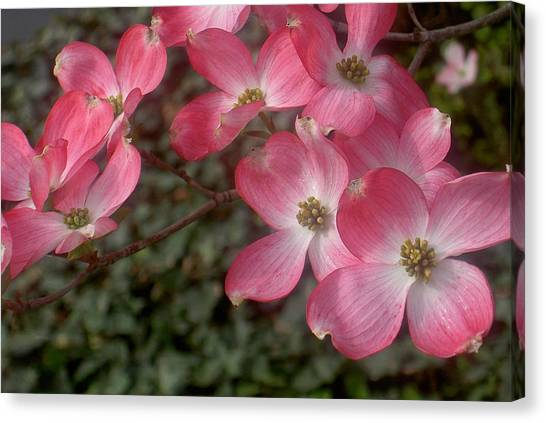 Pink Dogwood Delight Canvas Print