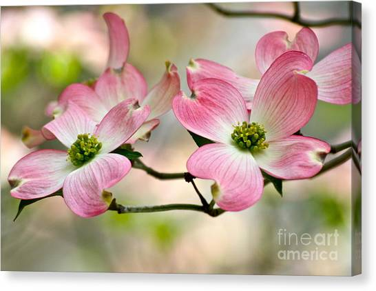 Pink Dogwood Splendor Canvas Print