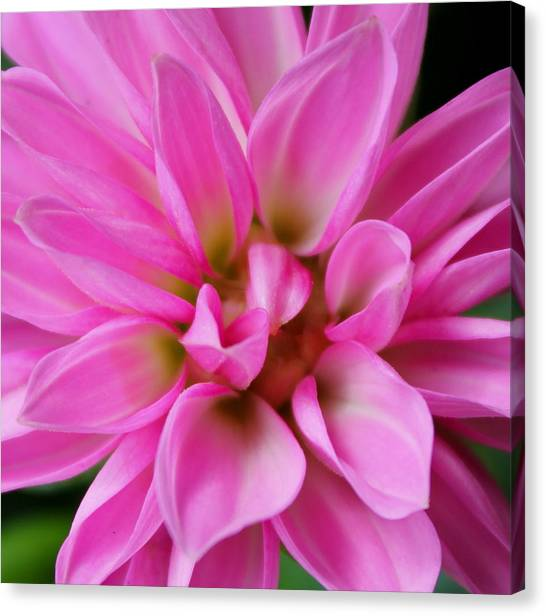 Pink Explosion Canvas Print