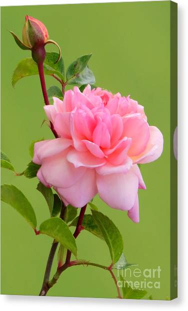 Pink Gem Canvas Print by Frank Townsley