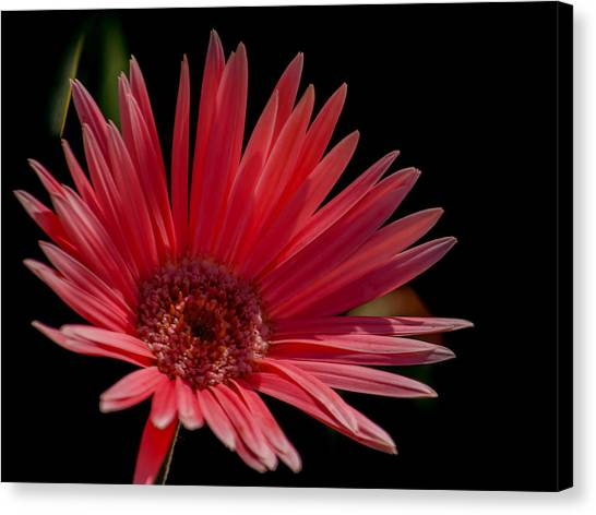 It Professional Canvas Print - Pink Gerber Daisy by Renee Barnes
