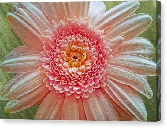 Pink Gerbera Textured Canvas Print