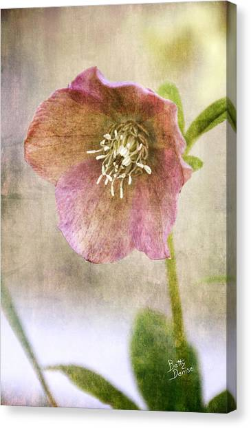 Pink Hellebore Canvas Print