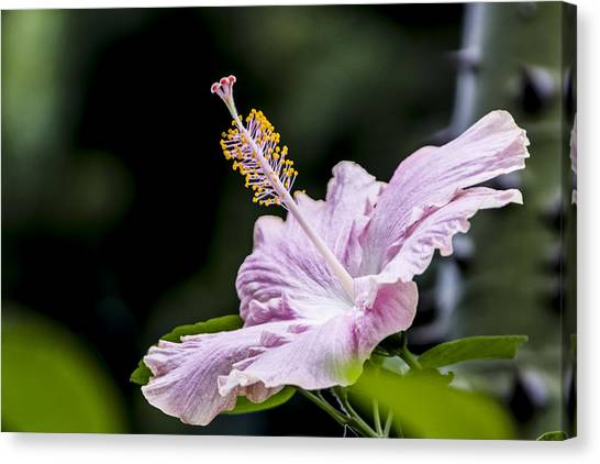 Pink Hibiscus Flower Canvas Print