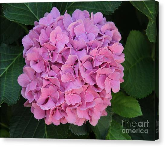Pink Hydrangea All Profits Benefit Hospice Of The Calumet Area Canvas Print