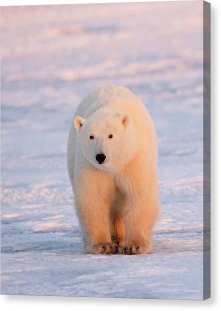 Polar Bears Canvas Print - Pink Light by Marco Pozzi