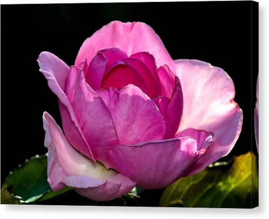 Pink Light Canvas Print
