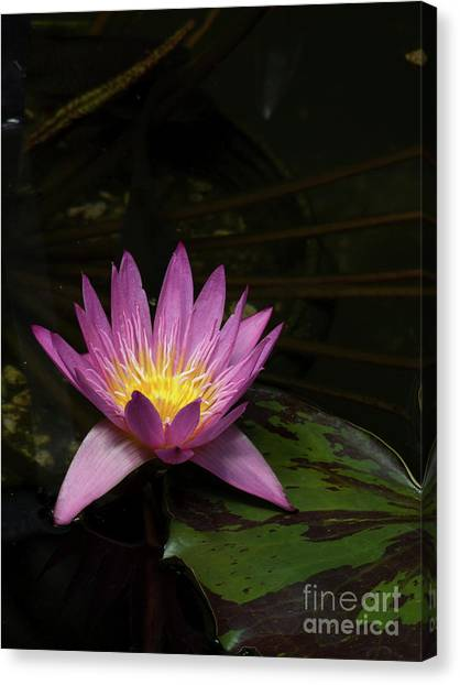 Pink Lotus Flower On Lily Pad Canvas Print