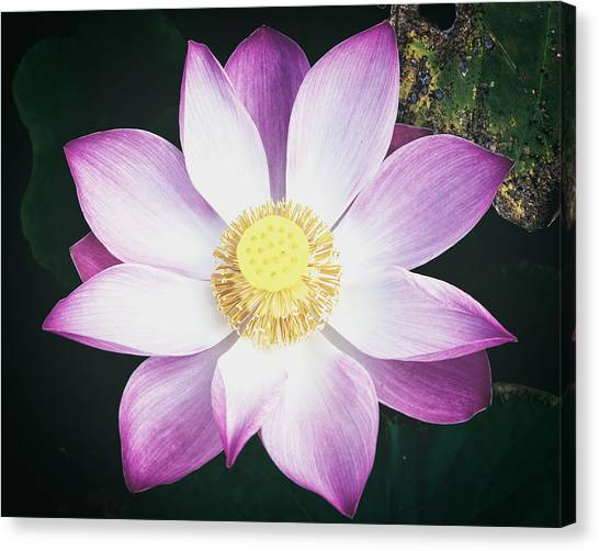 Canvas Print featuring the photograph Pink Lotus Flower by Stefan Nielsen