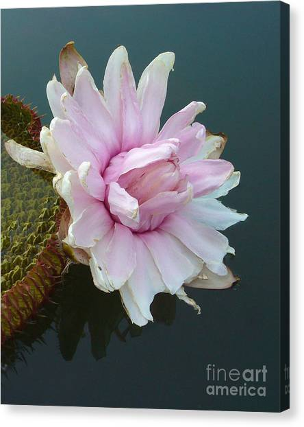 Pink Lotus In Water Canvas Print