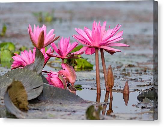 Pink Lotuses Canvas Print