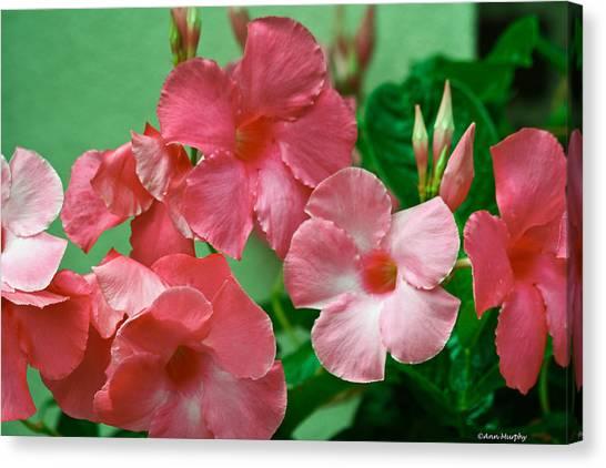 Pink Mandevilla Vine Canvas Print