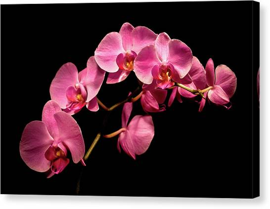 Pink Orchids 3 Canvas Print